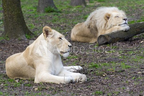 Fototapeta After love - white lion and lioness (Panthera leo kruegeri)