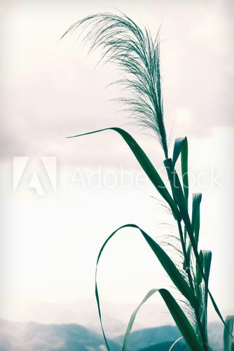Fototapeta Bamboo grass or Tiger grass vintage style