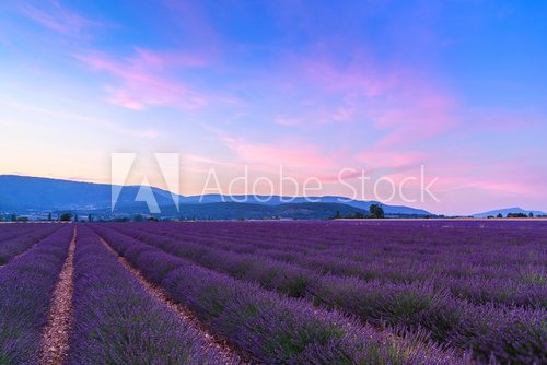 Fototapeta Beautiful landscape of lavender fields at sunset near Sault