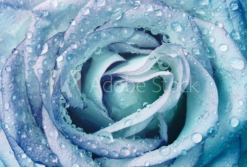 Fototapeta beautiful wet blue rose