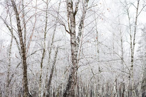Fototapeta Birch trees covered with hoarfrost