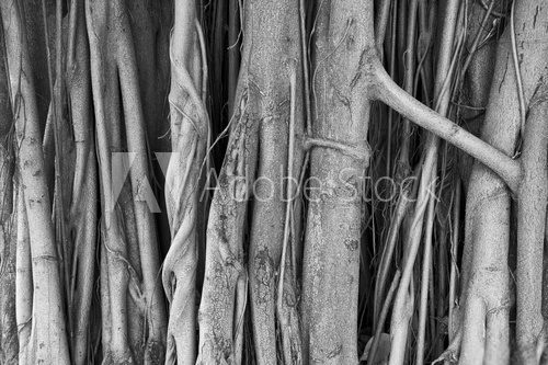 Fototapeta Brazilian strangler fig banyan tree roots in a close-up abstract monochromatic black and white textured background