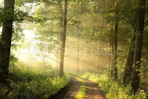 Fototapeta Dirt road through the spring deciduous forest on a foggy morning