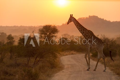 Fototapeta Giraffe At Sunrise Kruger National Park