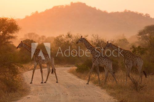 Fototapeta Giraffes At Sunrise