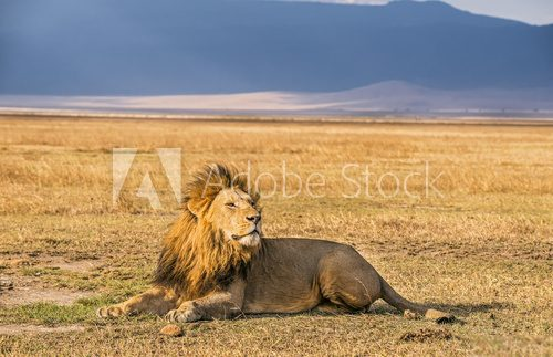 Fototapeta Lion resting in the Ngorongoro Crater