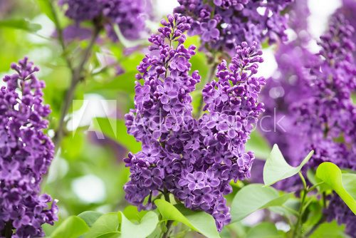 Fototapeta Macro image of spring lilac violet flowers, abstract soft focus floral background
