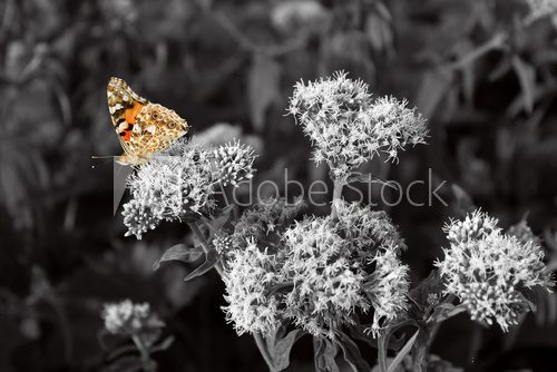 Fototapeta Orange butterfly, black and white photography