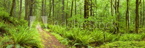 Fototapeta Path through lush rainforest, Columbia River Gorge, Oregon, USA