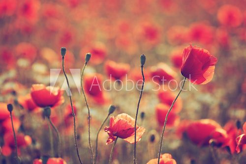 Fototapeta Poppy field