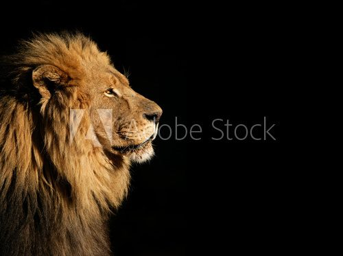 Fototapeta Portrait of a big male African lion on black