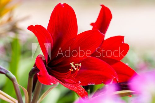 Fototapeta red amaryllis flower