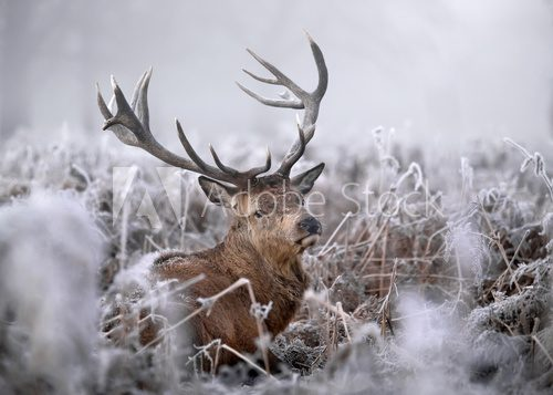Fototapeta Red deer in winter