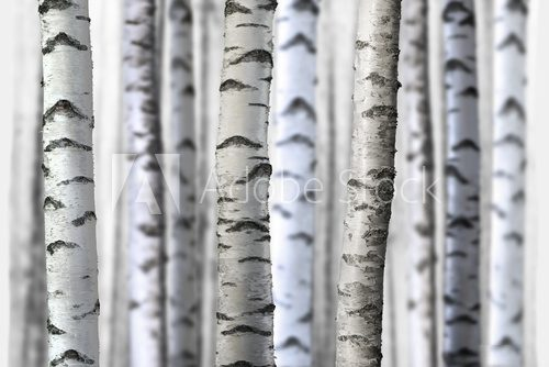 Fototapeta seamless birch trees