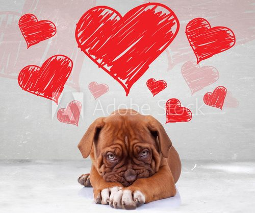 Fototapeta shy love of a dog de bordeaux puppy