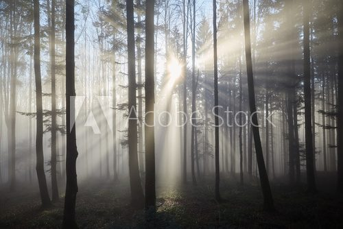 Fototapeta Sun rays through the foggy forrest