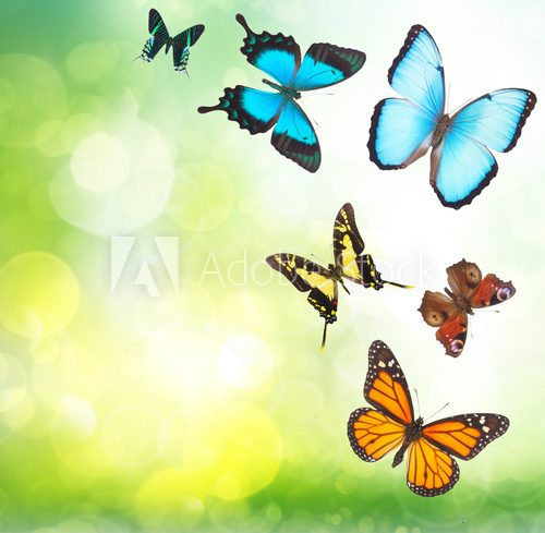 Fototapeta Tropical butterflies in garden
