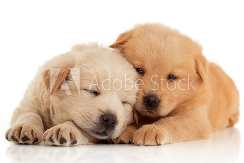 Fototapeta Two cute Chow-chow puppies,  isolated over white background