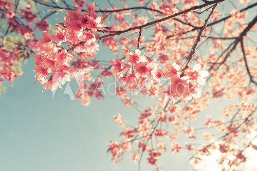Fototapeta Vintage cherry blossom - sakura flower. nature background  (retro filter effect color)