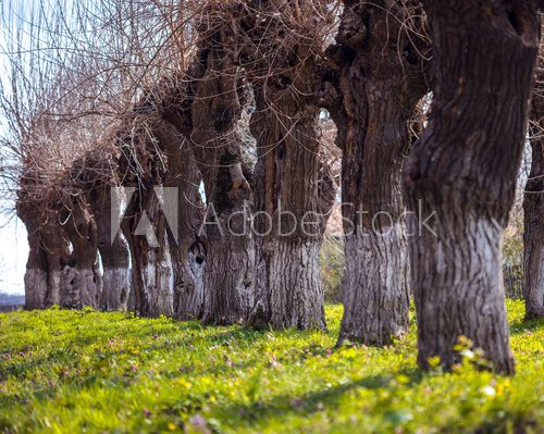 Fototapeta Willows in a row